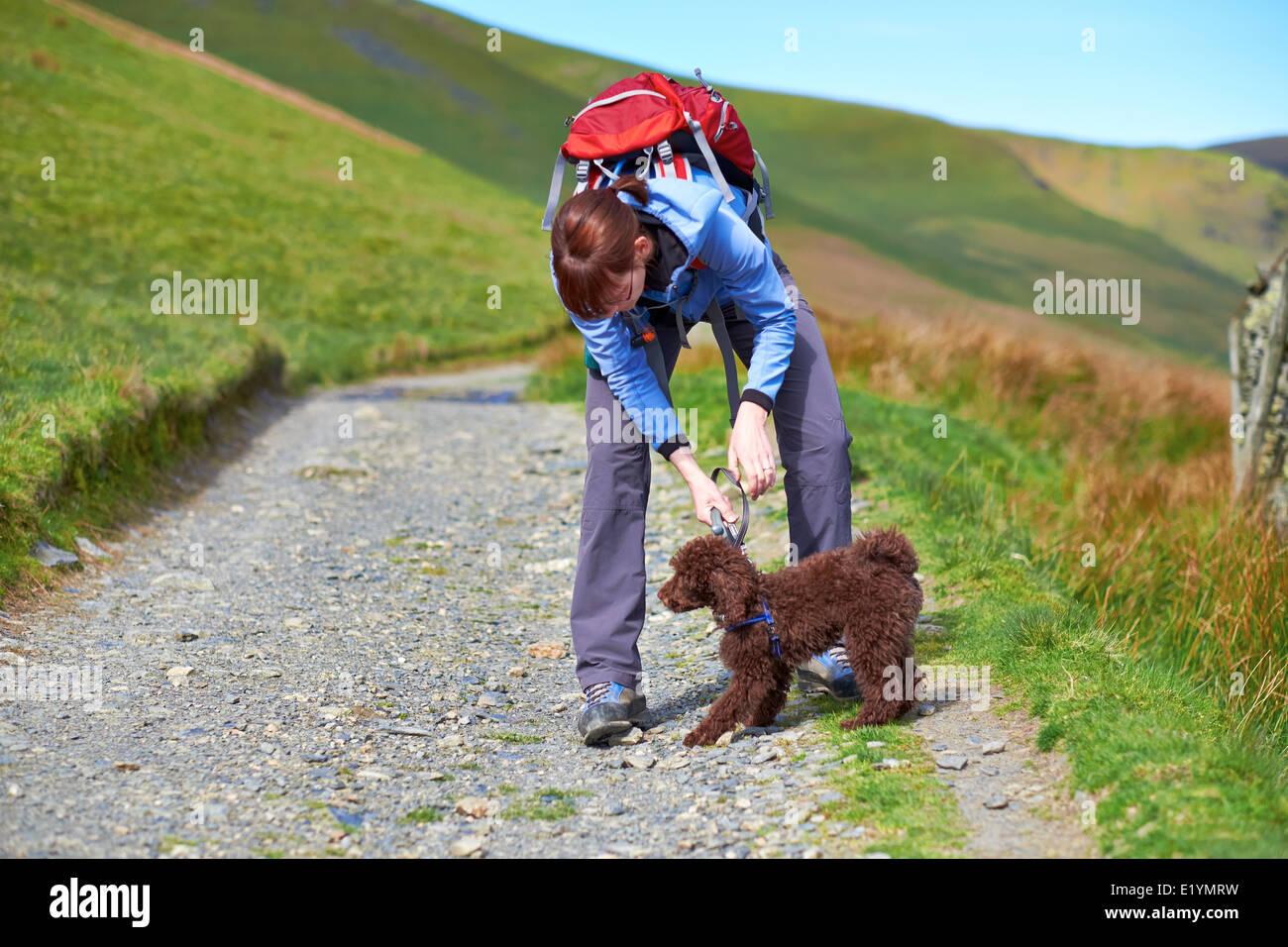 Una mujer caminante conectar un cable a un mazo de perros, collar en el Lake District, en el Reino Unido. Imagen De Stock