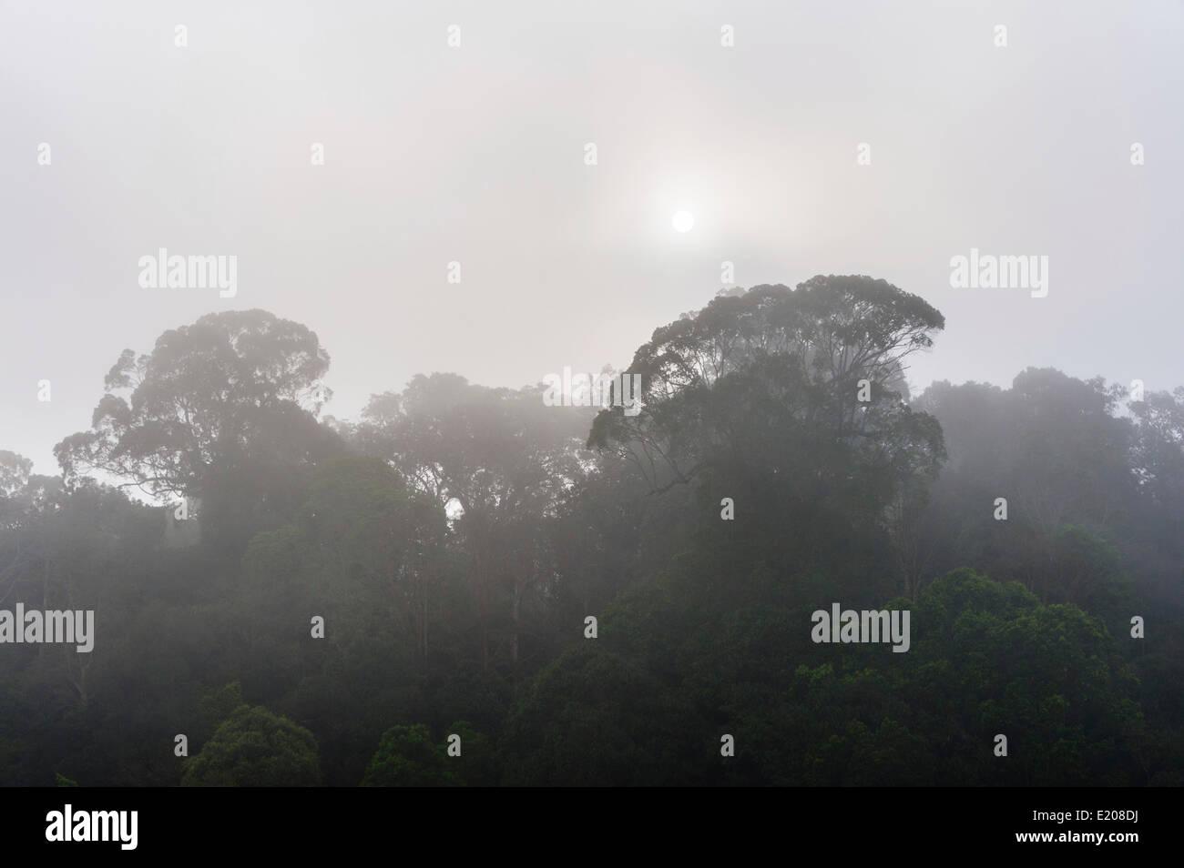 Selva en la niebla, siluetas de árboles, Periyar Dam, Thekkadi, Tamil Nadu, India Imagen De Stock