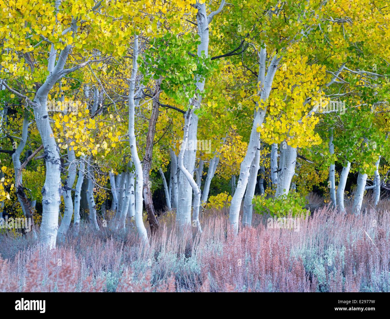 Color otoño álamos y artemisa. La parte oriental de Sierra Nevada Mountains, California Imagen De Stock