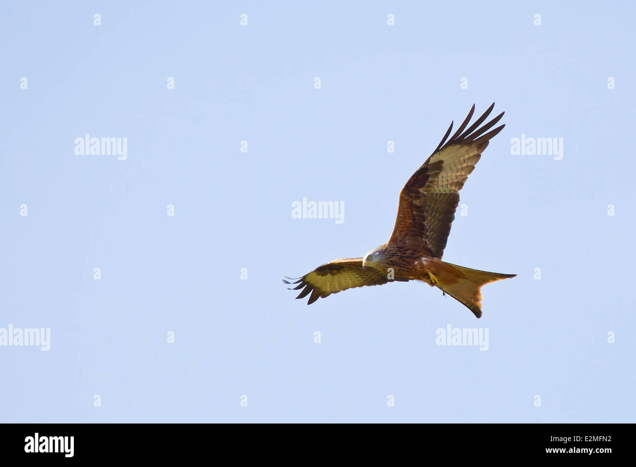 Red Kite en vuelo Foto de stock