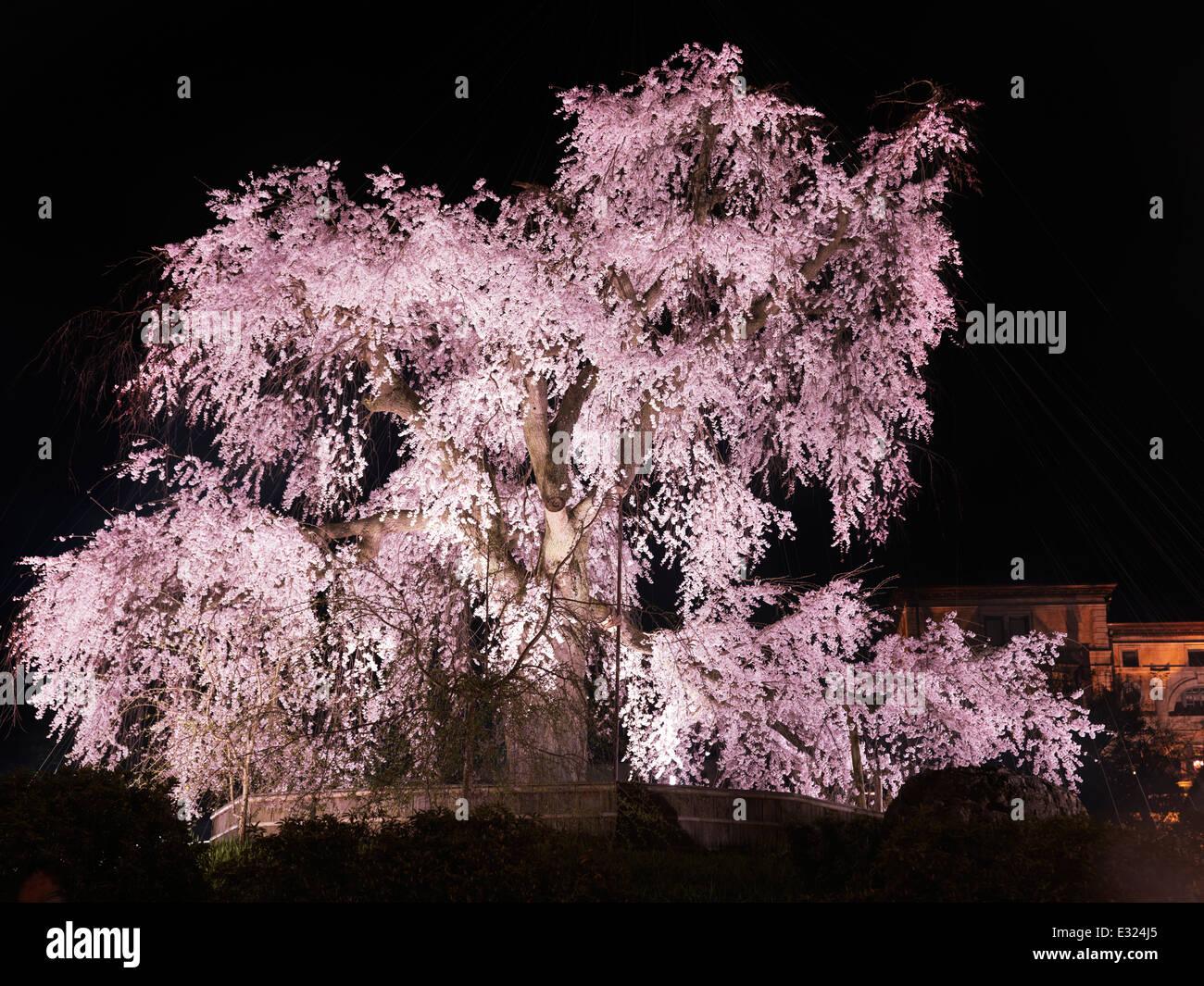 Viejo cerezo llorón, shidarezakura, iluminado en la noche en Maruyama park, Gion, Kioto, Japón 2014 Imagen De Stock