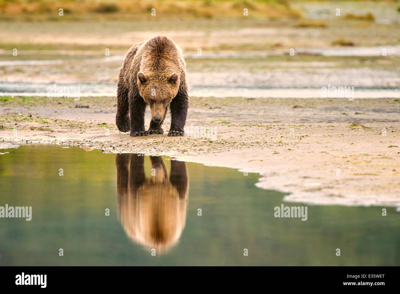 Un oso pardo costera / Grizzly Bear camina por una serpenteante costa en busca de restos de comida en el Parque Nacional de Katmai, Alaska Foto de stock