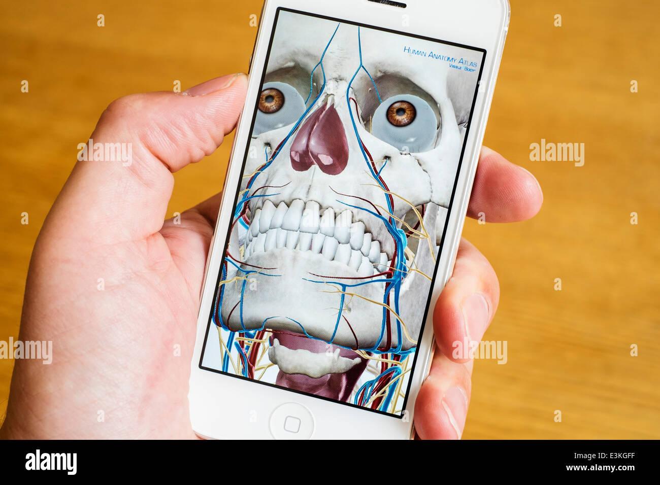 Detalle de educación médica atlas anatomía humana en 3D en un iPhone teléfonos inteligentes. Imagen De Stock