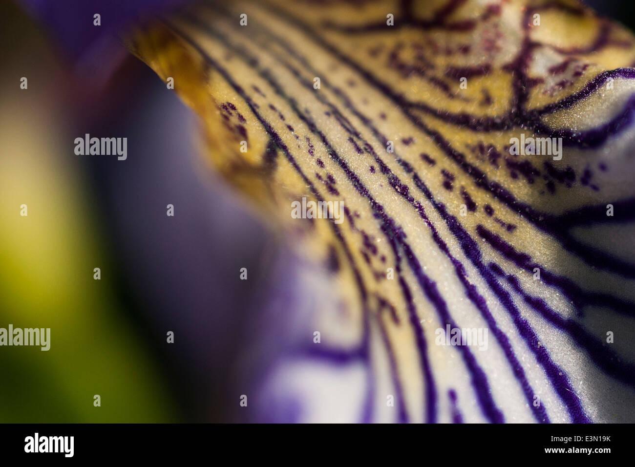 Iris pétalo cerrar Foto de stock
