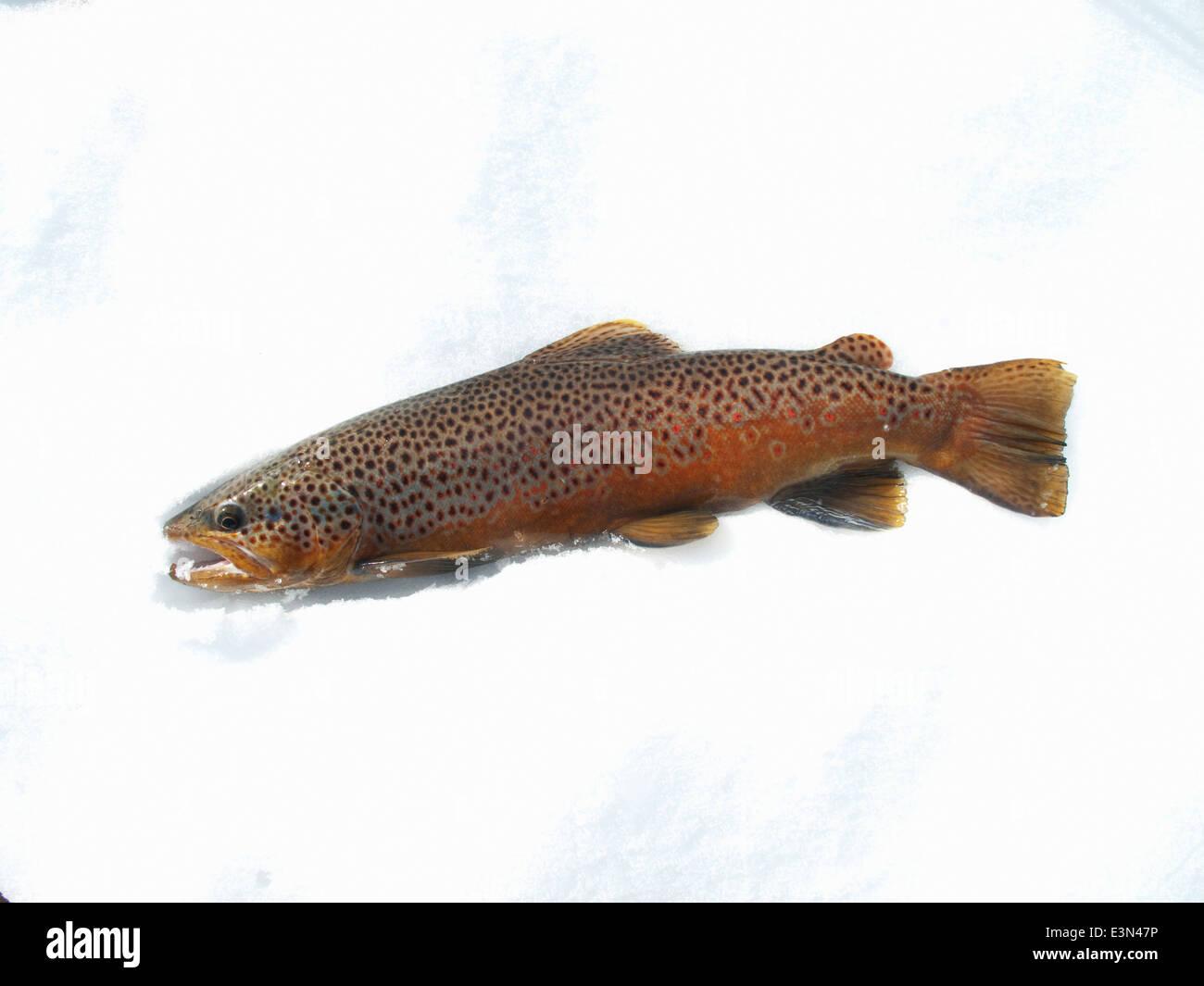 Truchas marrones capturadas, mientras que la pesca con mosca en el Río Big Horn en Montana, EE.UU. Imagen De Stock