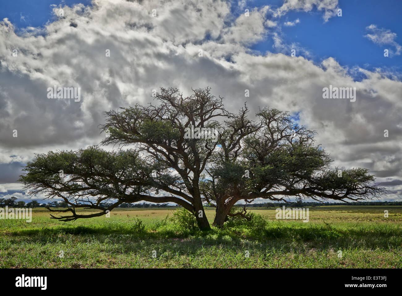 Paisaje con acacia bajo fuerte nubes en el Parque Transfronterizo Kgalagadi, Kalahari, Sudáfrica, Botswana, África Foto de stock