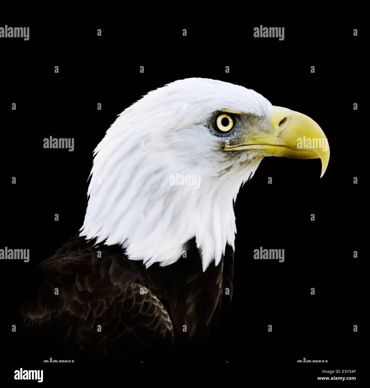 Retrato de águila calva sobre fondo negro Imagen De Stock