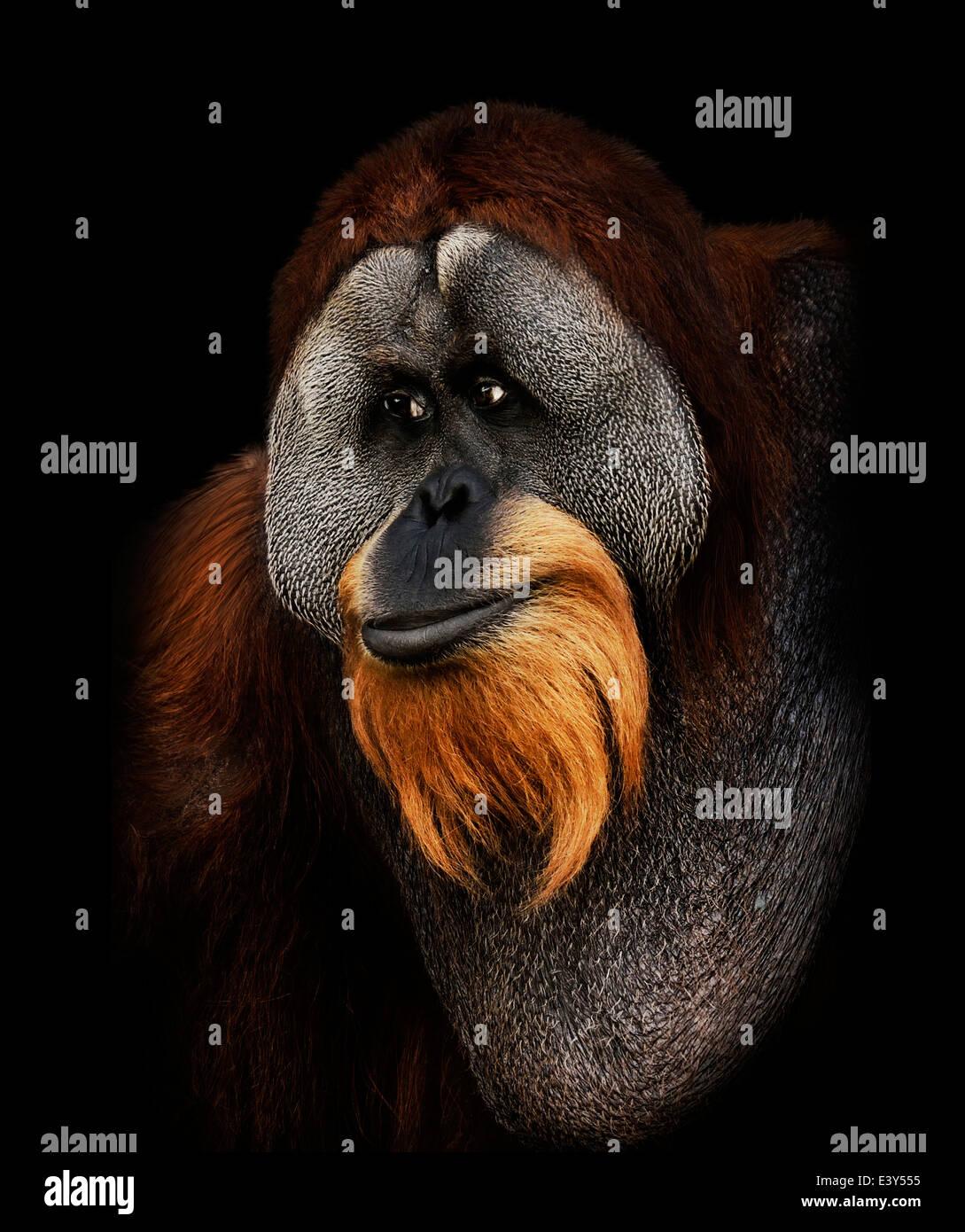 Orangután retrato sobre fondo negro Imagen De Stock