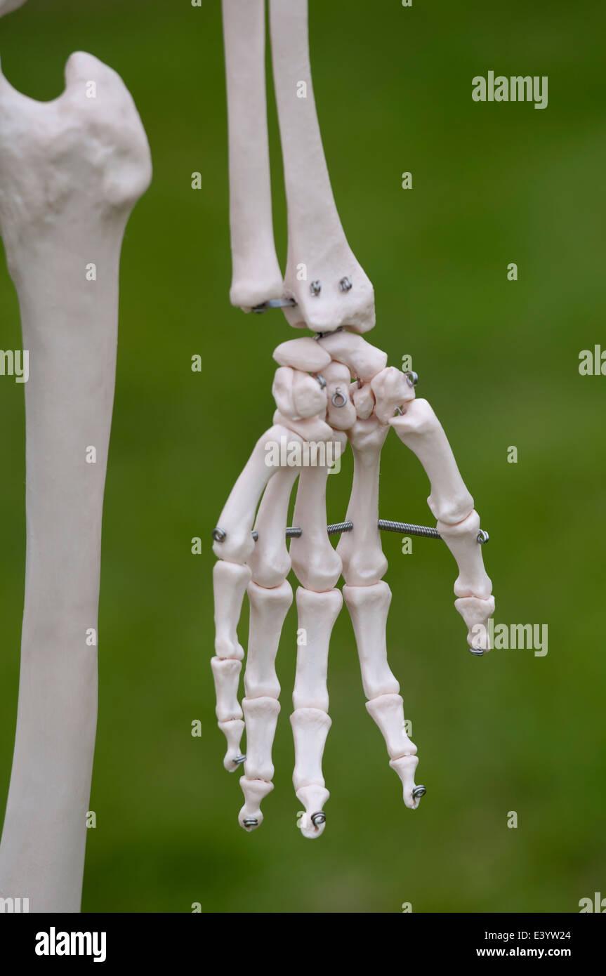 Una mano de un esqueleto humano de plástico Foto & Imagen De Stock ...