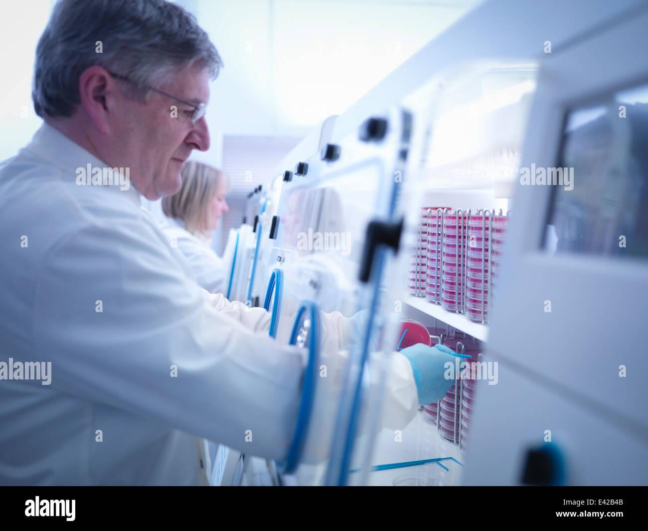 Scientist haciendo el cultivo bacteriano en agar dentro de estaciones de trabajo de laboratorio Foto de stock