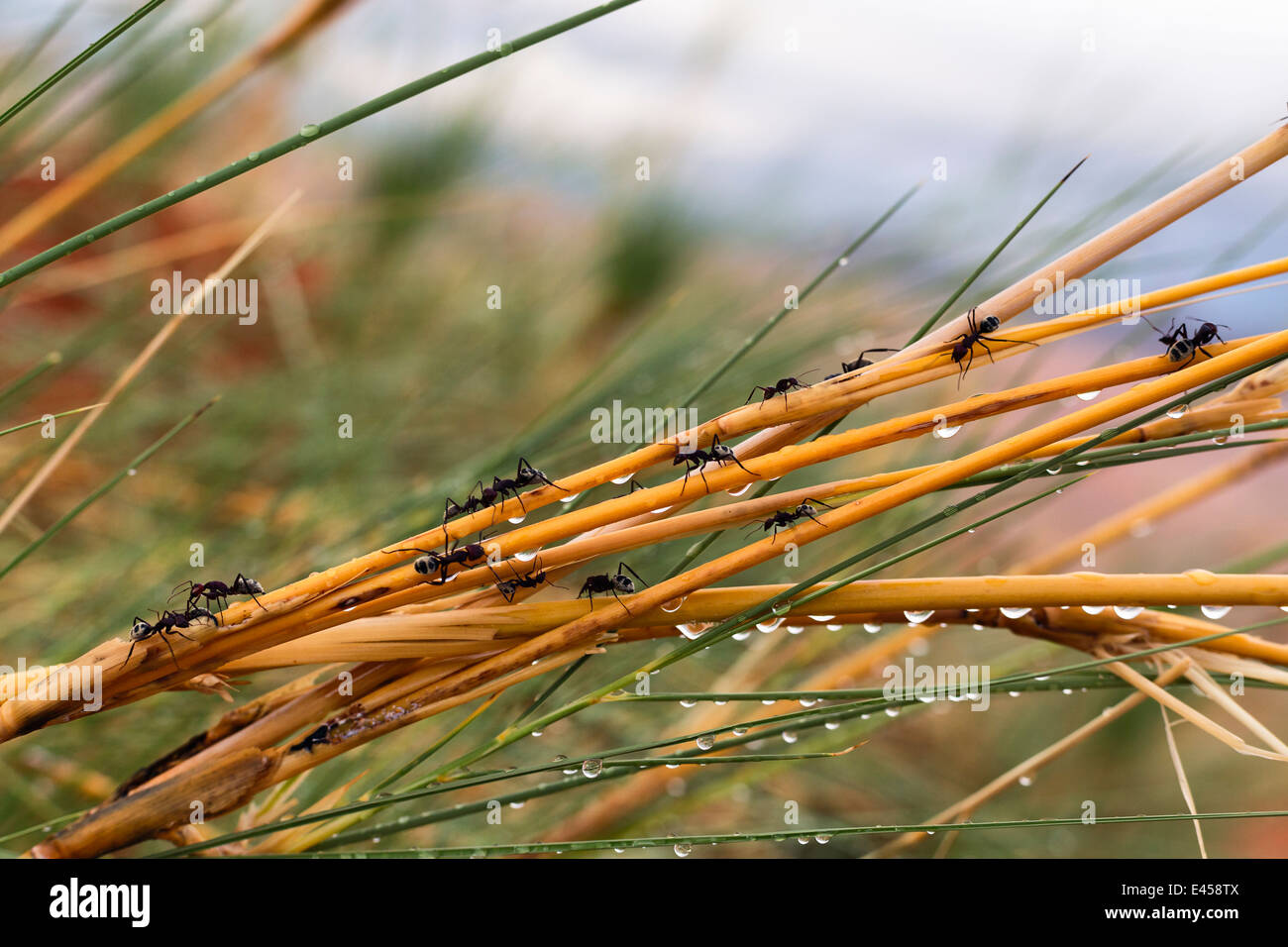 Namib Desert Dune hormiga (siendo Camponotus detritus) Imagen De Stock