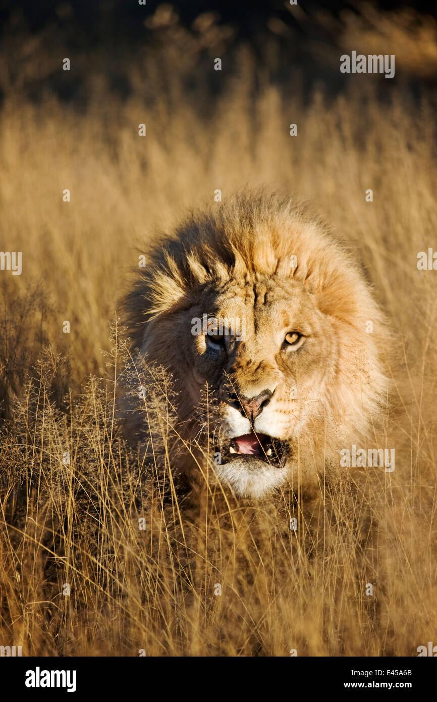 Gruñendo macho León (Panthera leo) Imagen De Stock