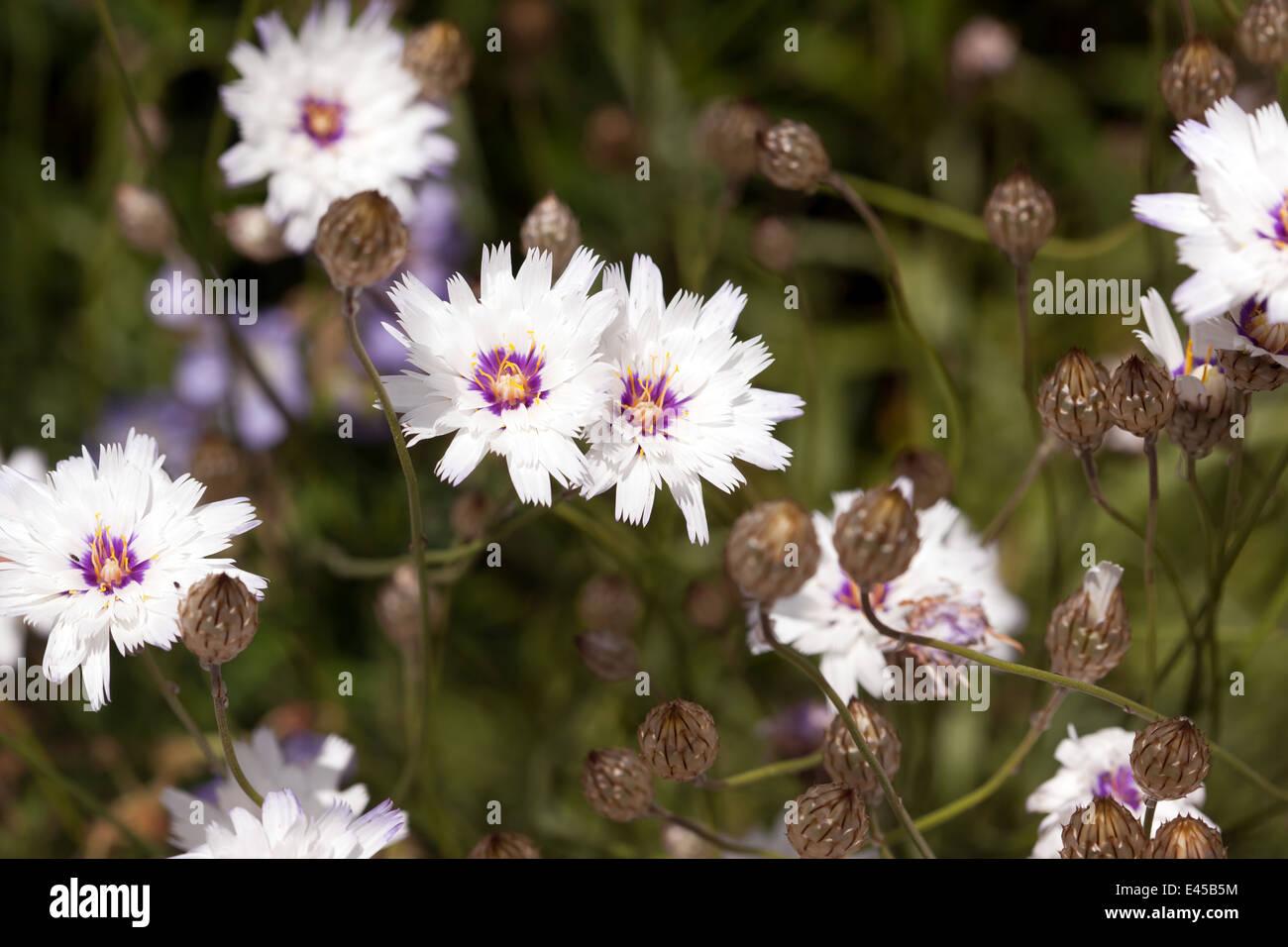 Imagen de Catananche caerulea 'amor' blanca Imagen De Stock
