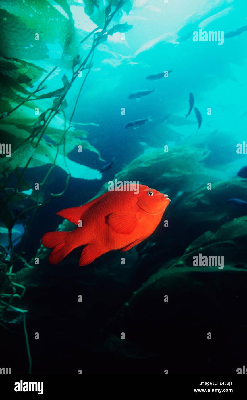Garibaldi (Hypsypops rubicanda) entre las algas gigantes (Macrocystis sp), California, EE.UU. Foto de stock