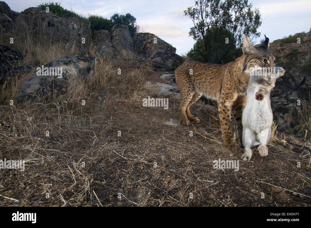 Wild el lince ibérico (Lynx pardinus) macho llevando conejo presa, Parque Natural Sierra de Andújar, bosque mediterráneo de Sierra Morena, al noreste de la provincia de Jaén, en Andalucía, España, en mayo de 2009, en peligro crítico de extinción Foto de stock