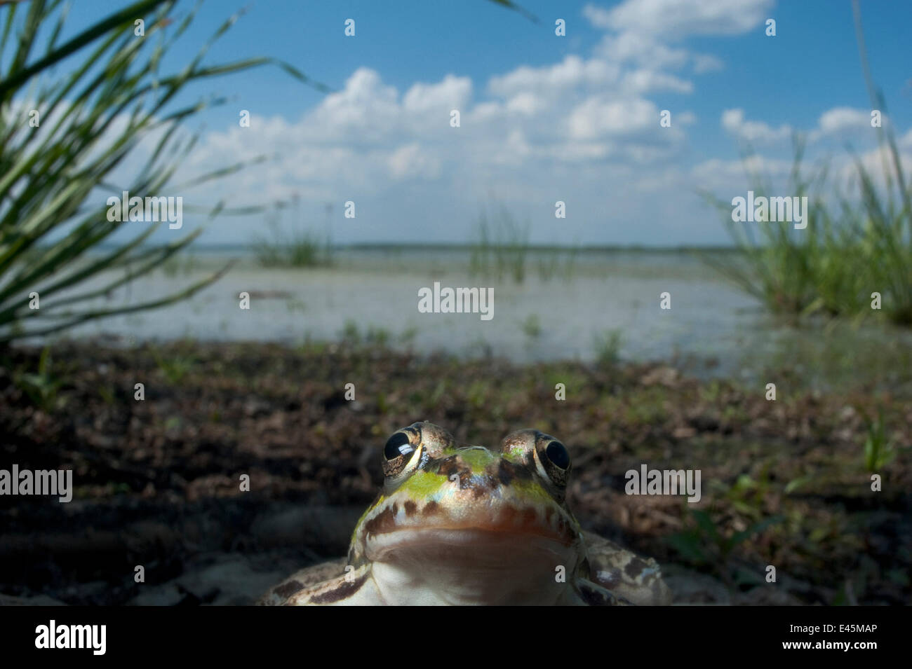 Unión comestible (RANA rana esculenta) por el lago Belau, junio de 2009 Imagen De Stock