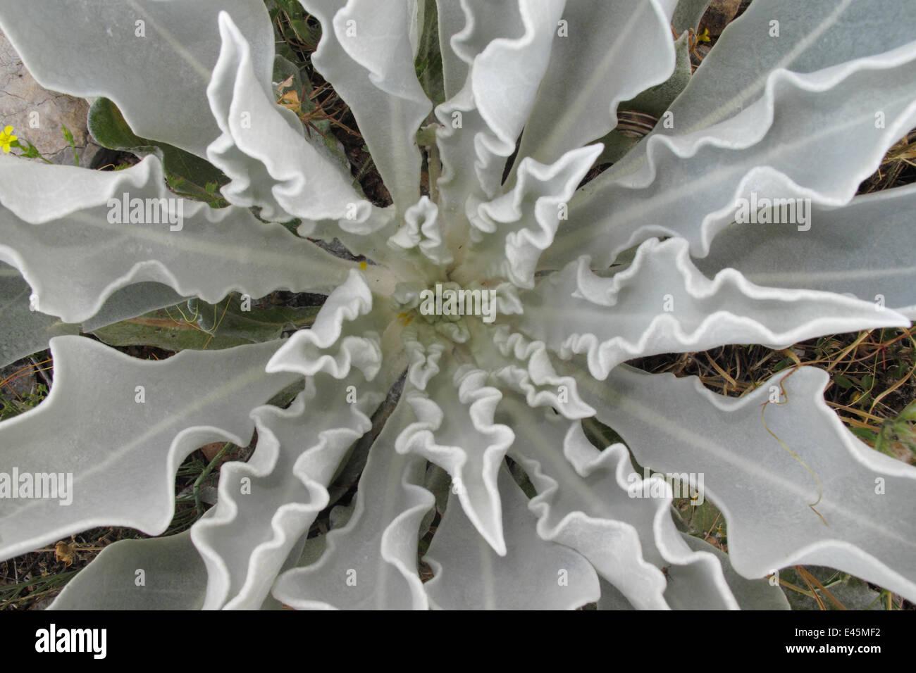 (Mullein Verbascum pulverulentum canoso) hoja verticilos, región Stenje, Lago Prespa, Macro Parque Nacional Galicica, Foto de stock