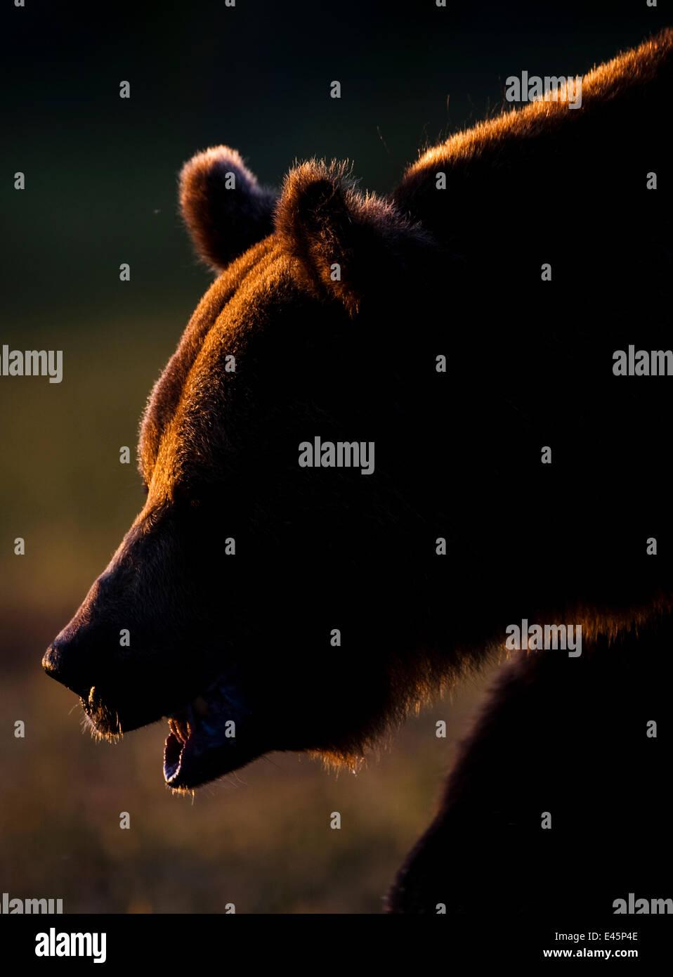 Oso pardo europeo (Ursos arctos) retroiluminada por Sun, Kuhmo, Finlandia, en julio de 2009 WWE LIBRO Imagen De Stock