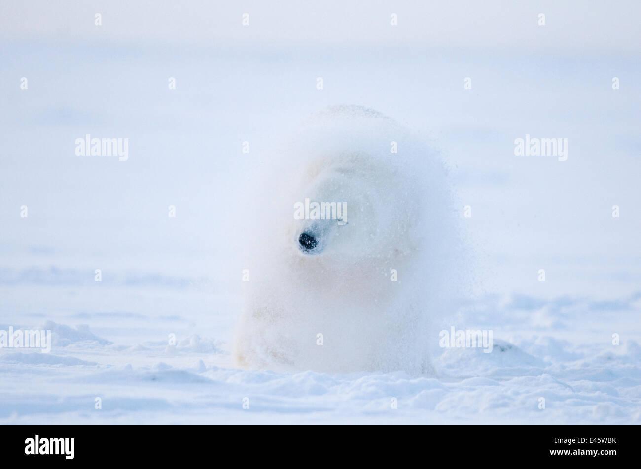 El oso polar (Ursus maritimus) menores se sacude la nieve después de rodar en la banquisa, costa ártica, Imagen De Stock