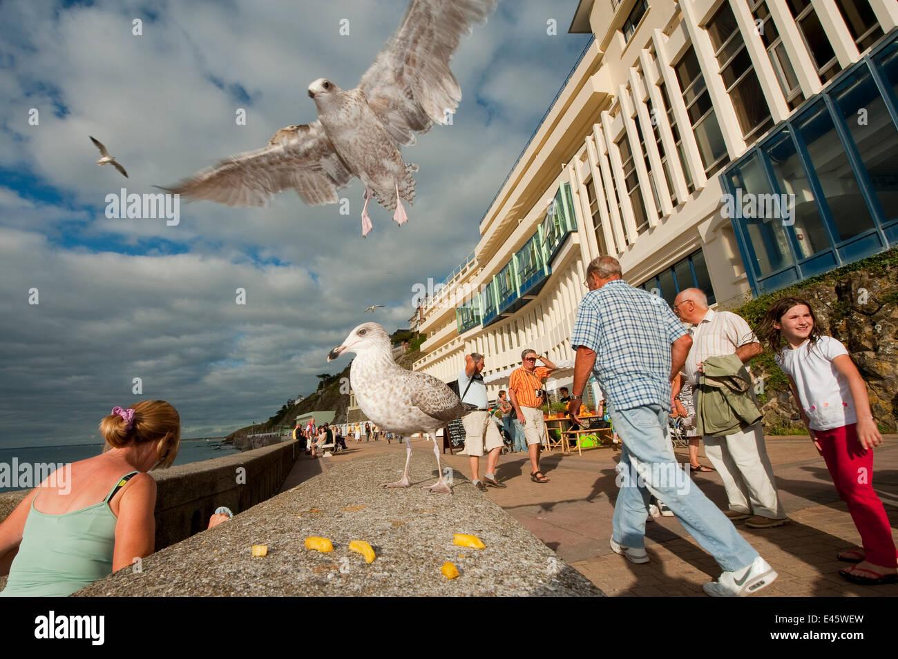 Gaviota argéntea (Larus argentatus) pasearse abajo para alimentarse de los chips en una concurrida ciudad balnearia, Imagen De Stock