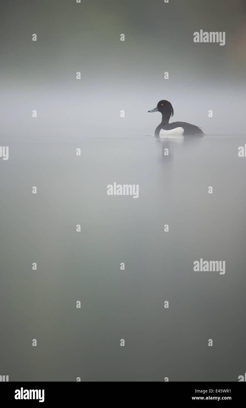 Tufted duck (Aythya fuligula) macho en un tranquilo lago en amanecer de niebla. Derbyshire, Reino Unido, Mayo. (No Imagen De Stock