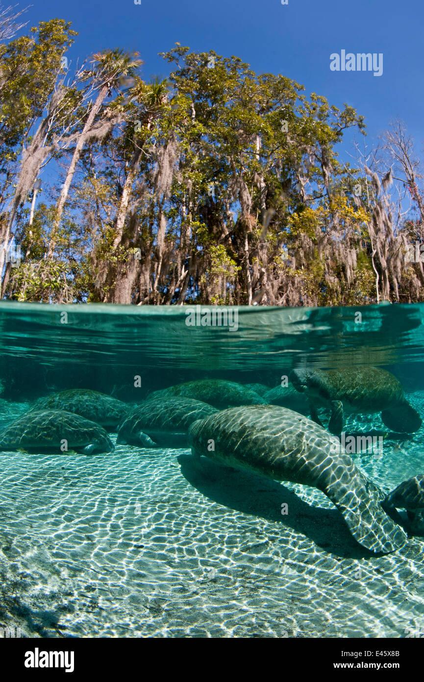 Dividir vista a nivel de un grupo de Florida el manatí (Trichechus manatus) latirostrus durmiendo en la tarde a las Tres Hermanas en primavera. Crystal River, Florida, EE.UU.. Febrero 2010 Foto de stock