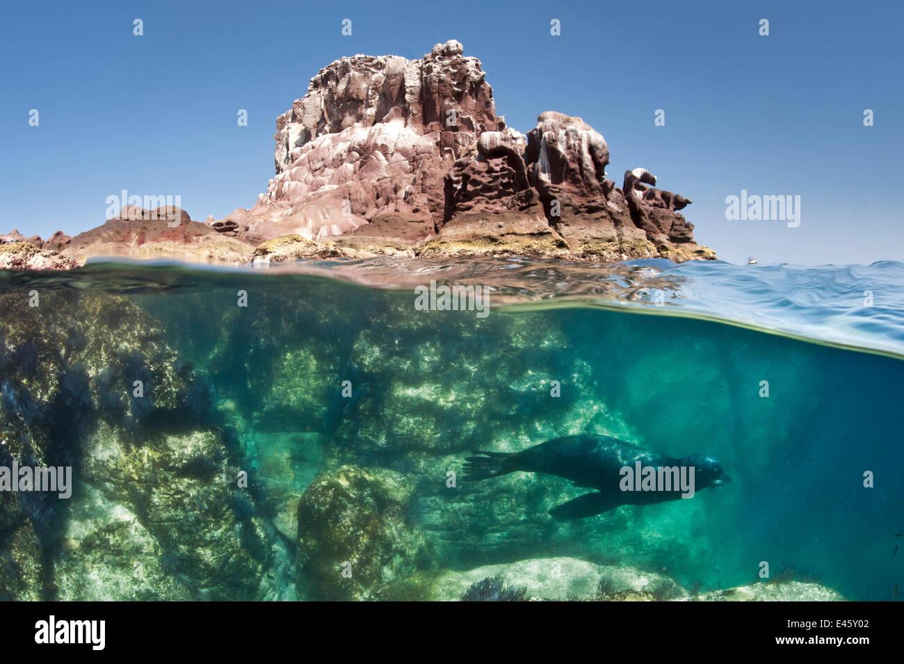 Una vista dividida de un toro sealion de California (Zalophus californianus) nadando por debajo de los Islotes sealion colonia. La Paz, México. Mar de Cortez, en medio del Océano Pacífico. Foto de stock