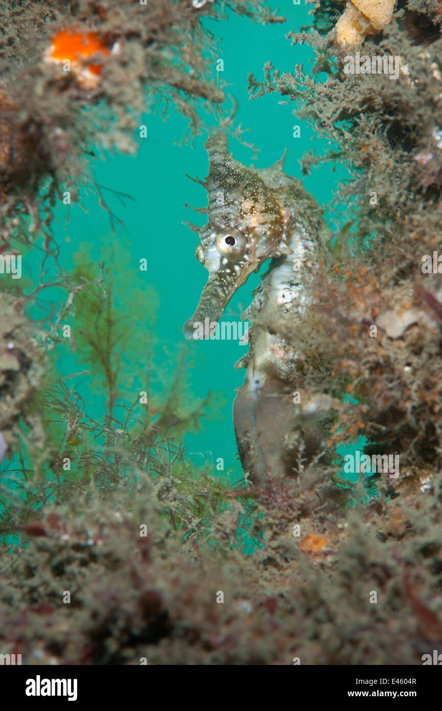 Blanco / dorado (caballitos de mar Hippocampus whitei) enmarcado por plantas marinas. Chowder Bay, Puerto de Sydney, Imagen De Stock