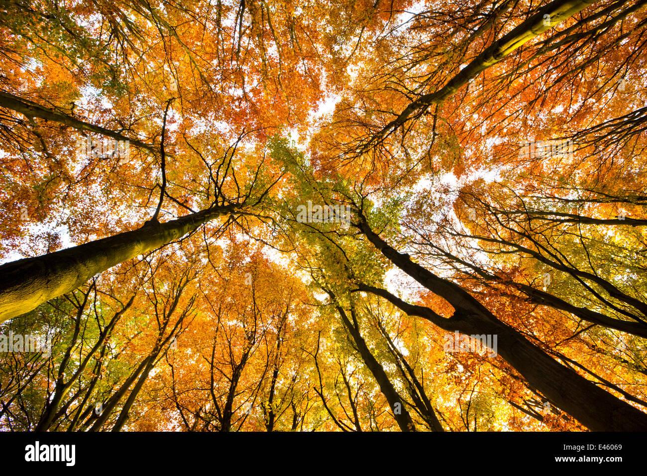 Mirando el dosel de madera de haya (Fagus sylvatica) en otoño, Peak District National Park, Derbyshire, Reino Imagen De Stock