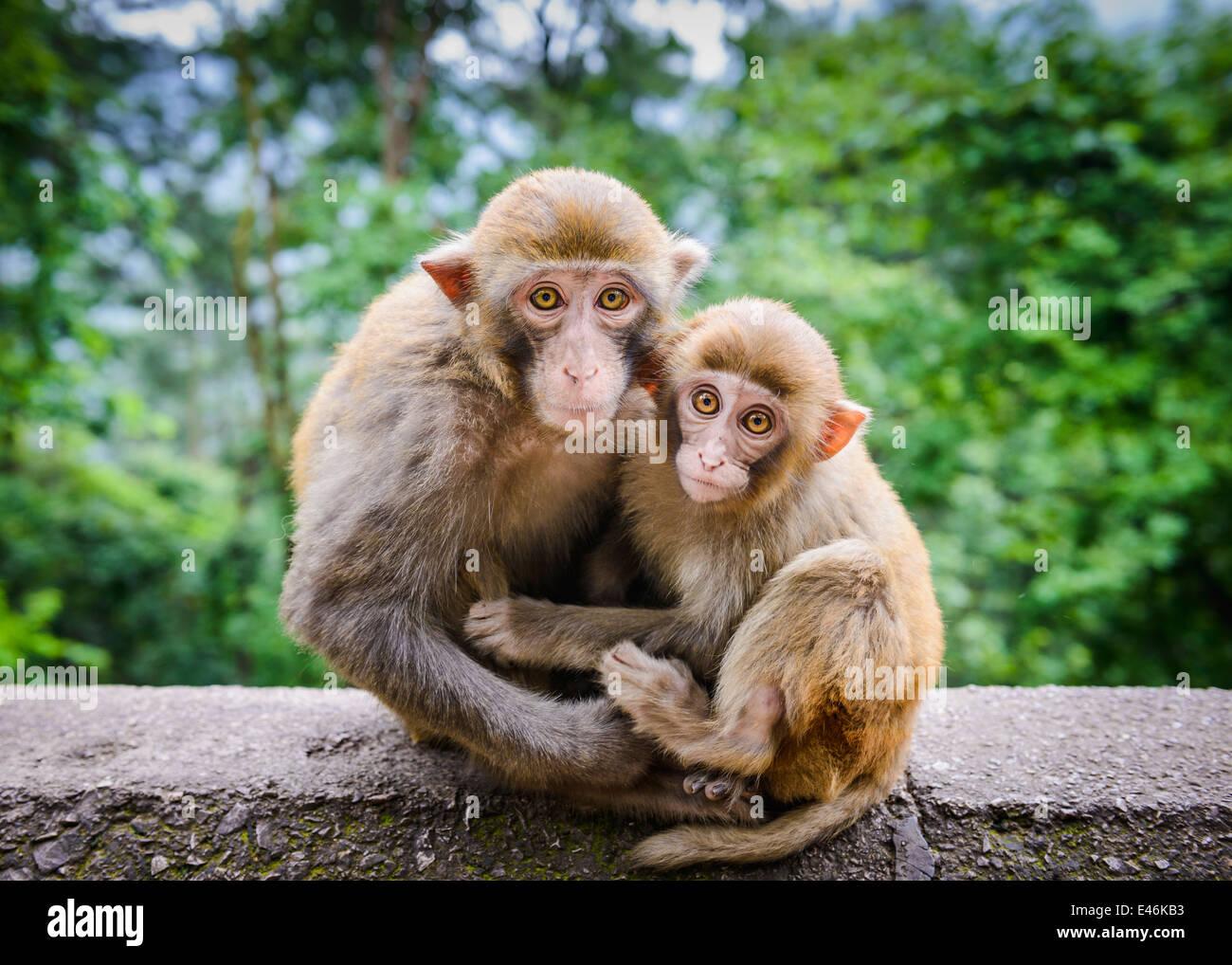 Los macacos en Guiyang, China. Imagen De Stock