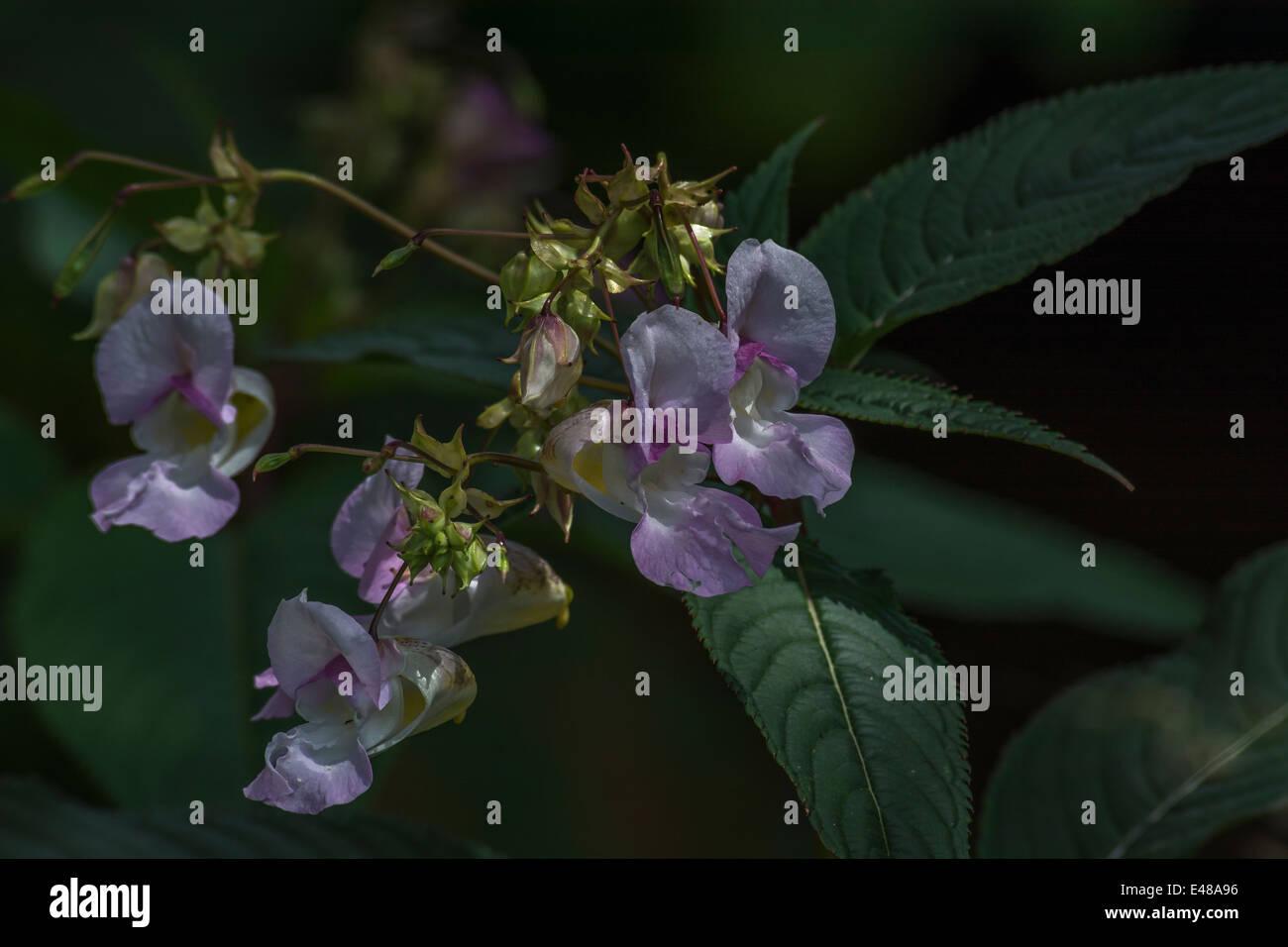 Flores y hojas superiores del molesto Himaalyan Bálsamo / Impatiens glandulifera - que le gusta el suelo húmedo / tierra. Foto de stock