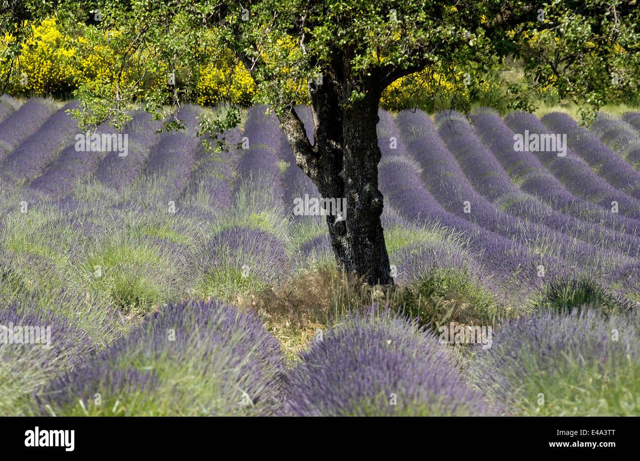 Blooming hermoso campo de lavanda en Valensole región de Provence, Francia en la temporada de verano Imagen De Stock