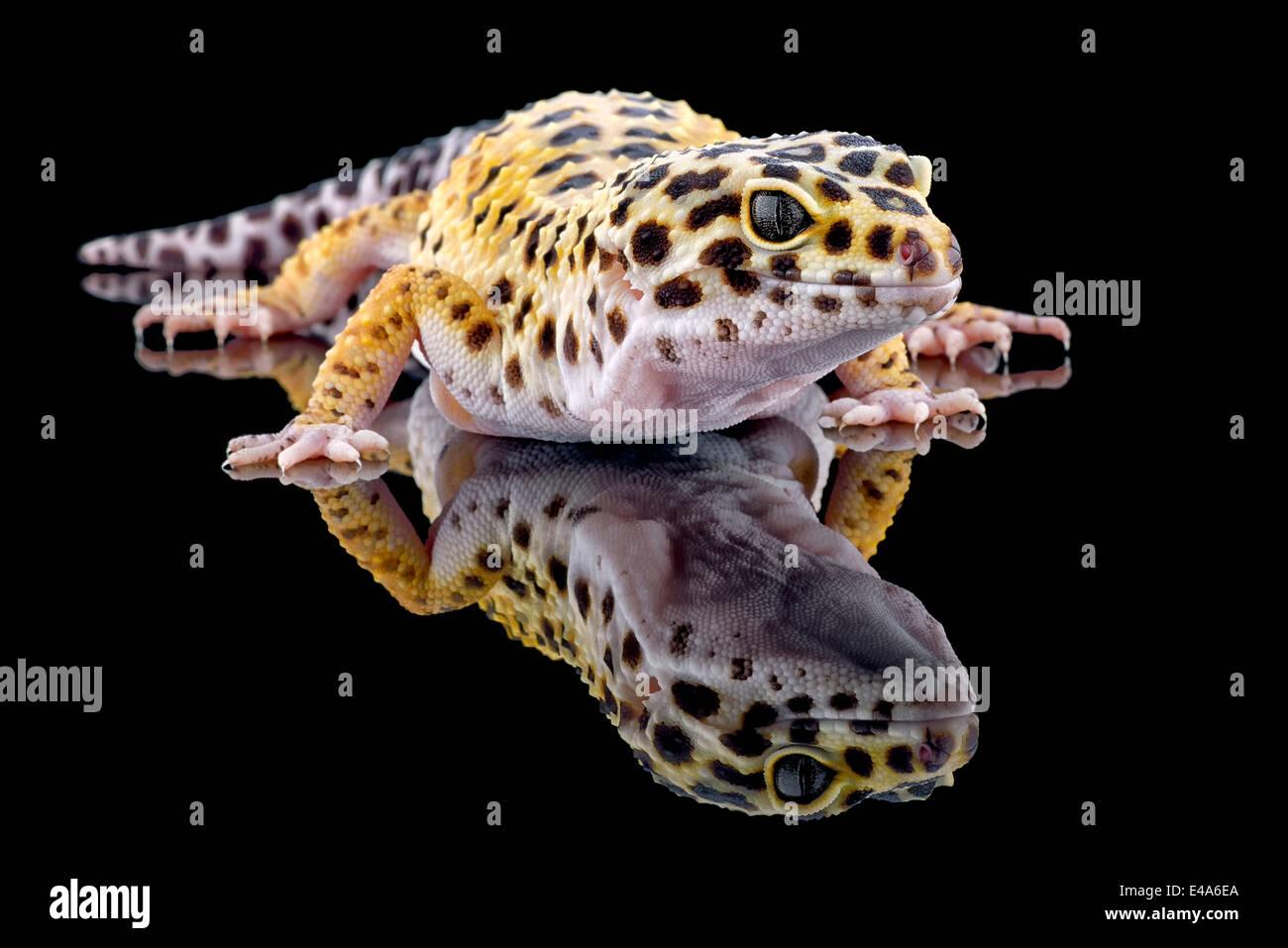 Leopard gecko, Eublepharis macularius, con reflexión sobre fondo negro Imagen De Stock