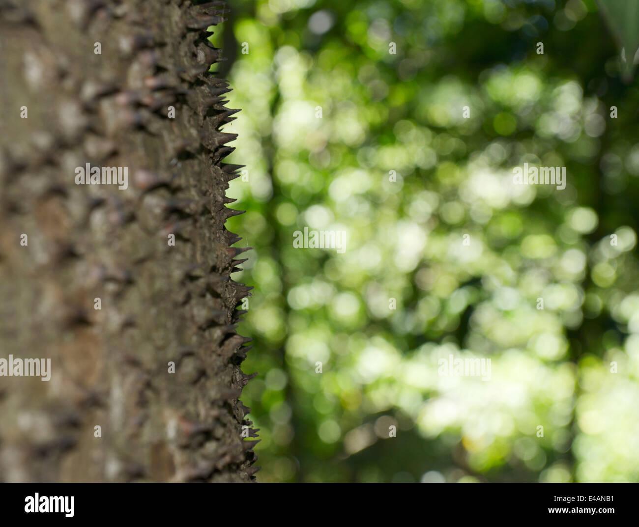 Las espinas en el tronco de un árbol de sandbox, Hura crepitans, también conocido como jabillo o possumwoord, provincia Foto de stock