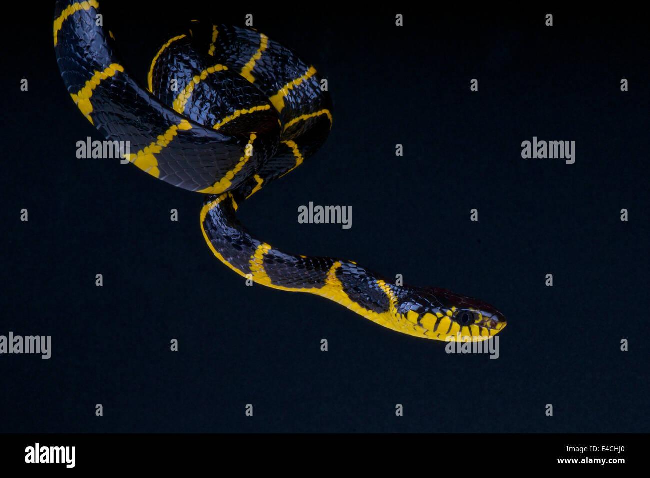 Los manglares / serpiente Boiga dendrophila Imagen De Stock