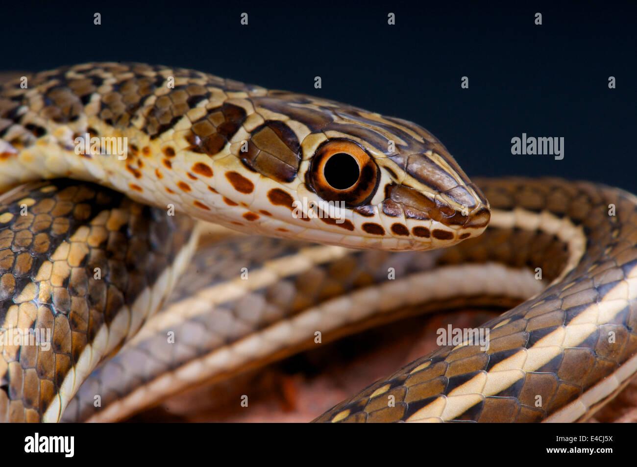 Silbido de serpiente de arena / Psammophis sibilans Imagen De Stock