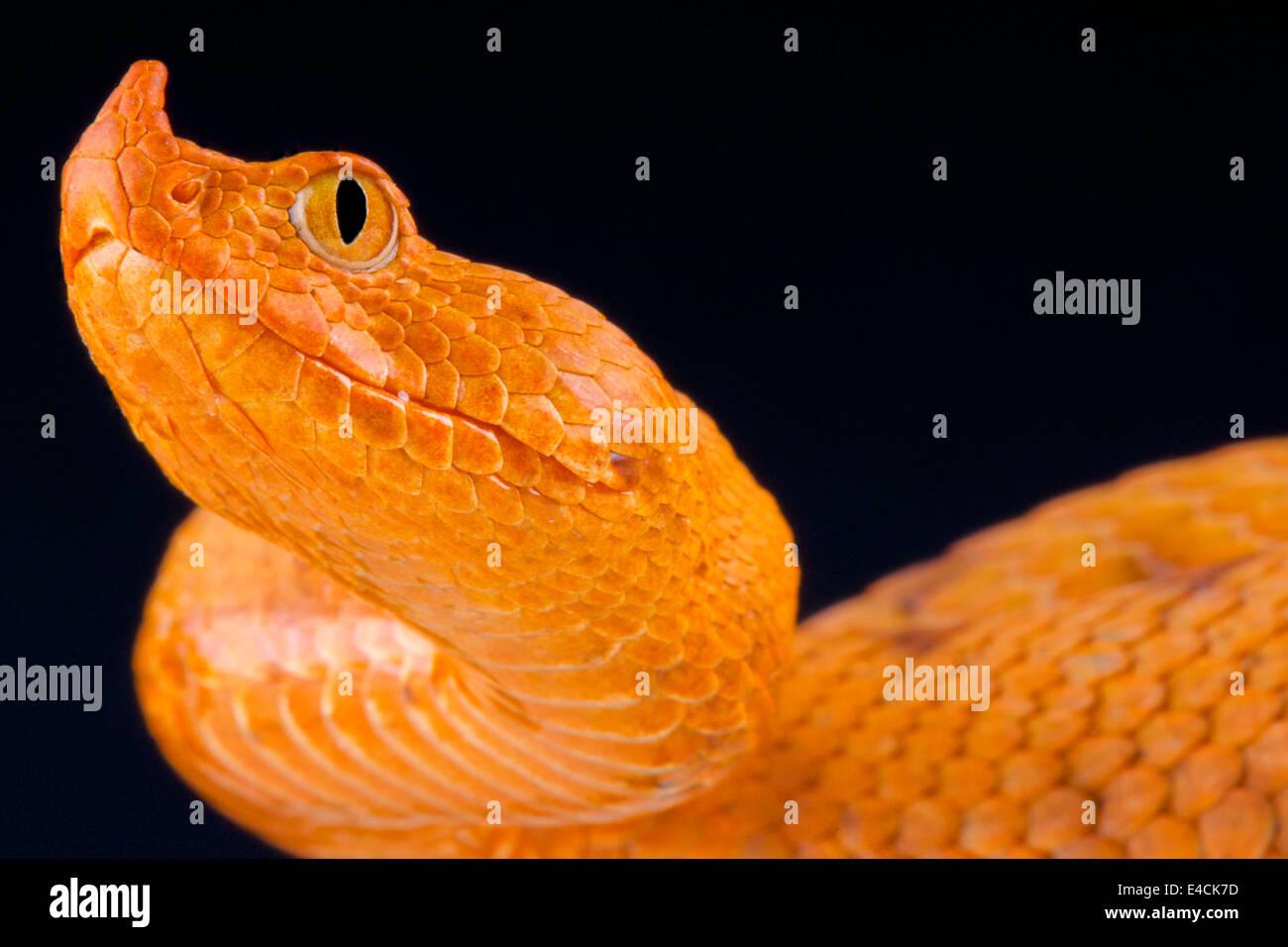 Larga nariz / Vipera ammodytes viper Imagen De Stock