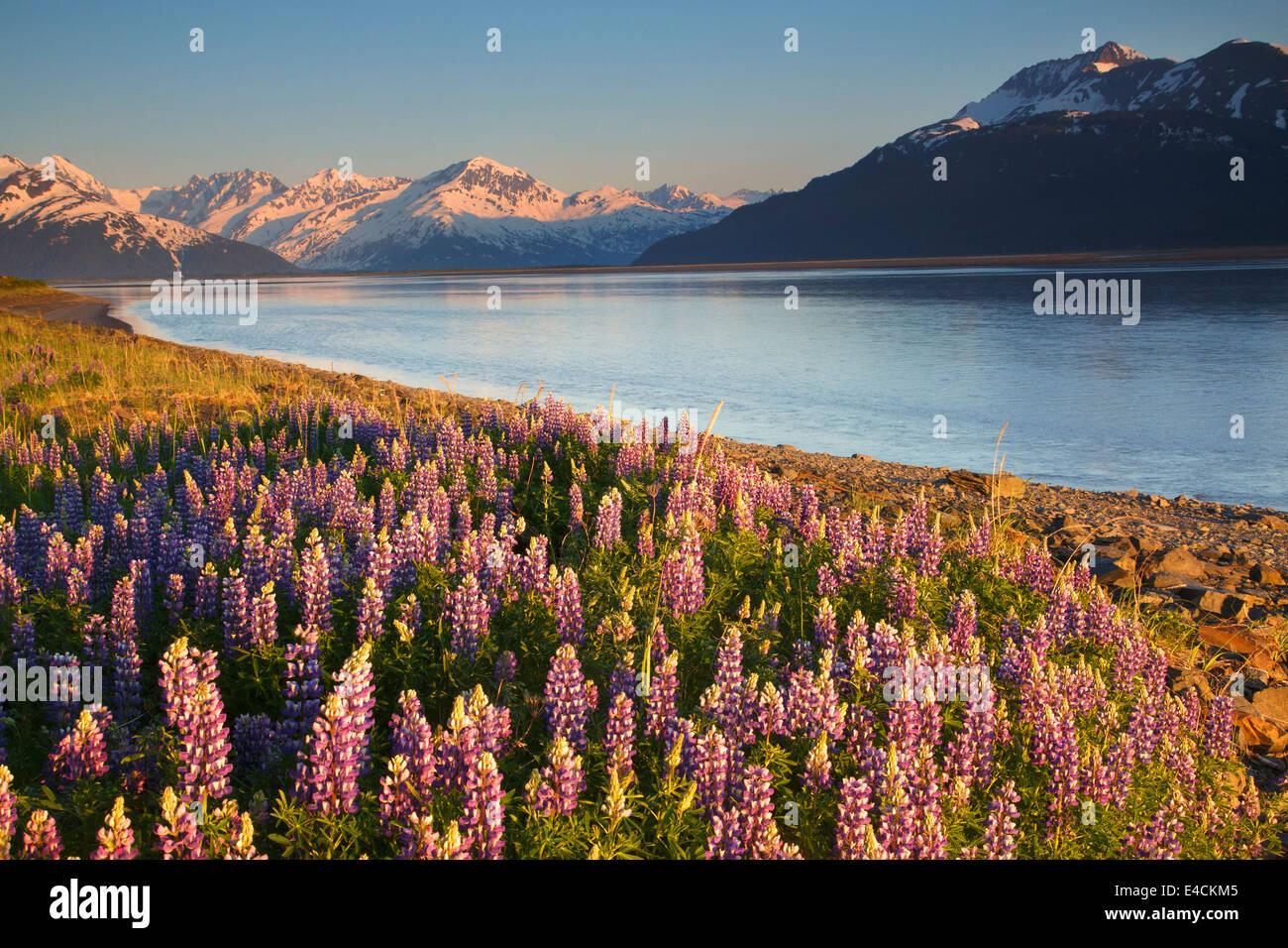 Un campo de lupino a lo largo del brazo Turnagain, el Bosque Nacional de Chugach, Alaska. Imagen De Stock