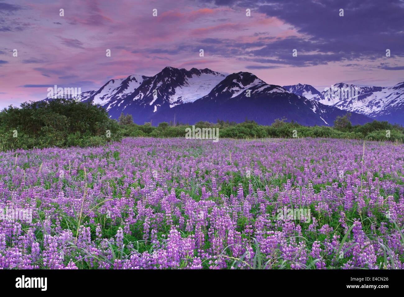 Campo de lupino flores silvestres a lo largo del brazo Turnagain, el Bosque Nacional de Chugach, Alaska. Imagen De Stock