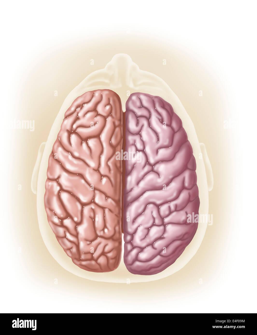 Vista de la parte superior de la cabeza humana mostrando hemisferios del cerebro humano. Imagen De Stock