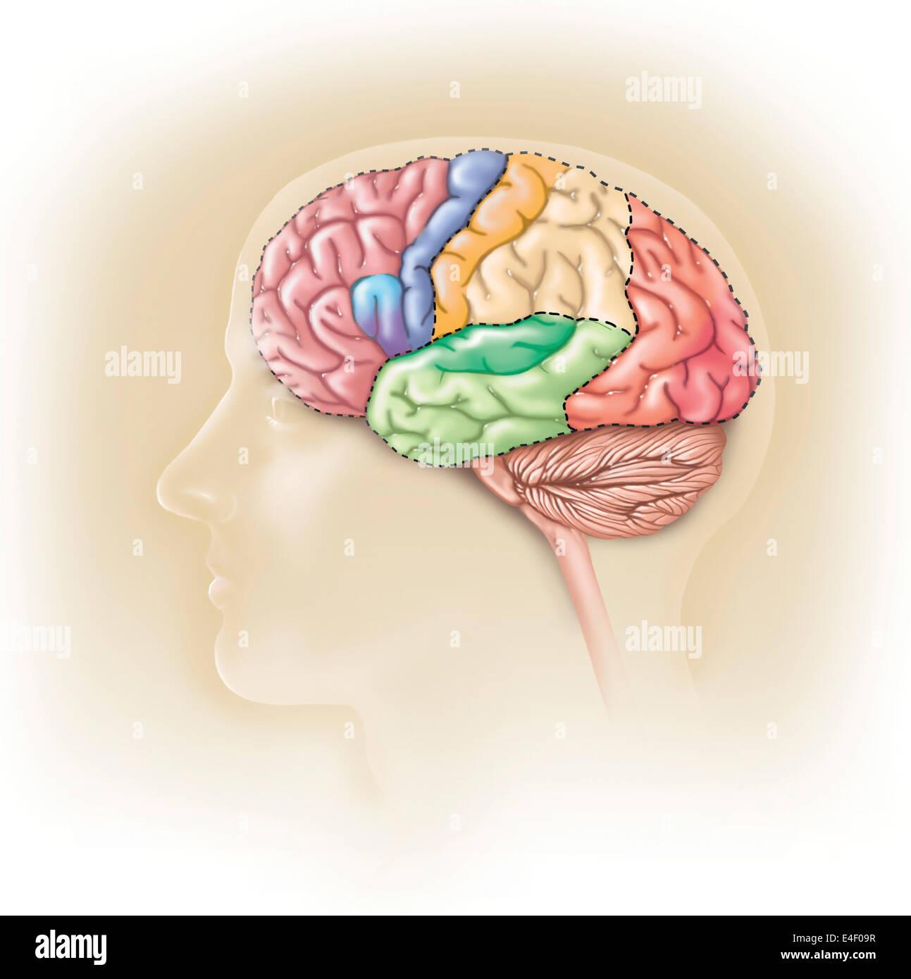 Vista lateral de la cabeza humana mostrando los lóbulos funcionales del cerebro humano. Imagen De Stock