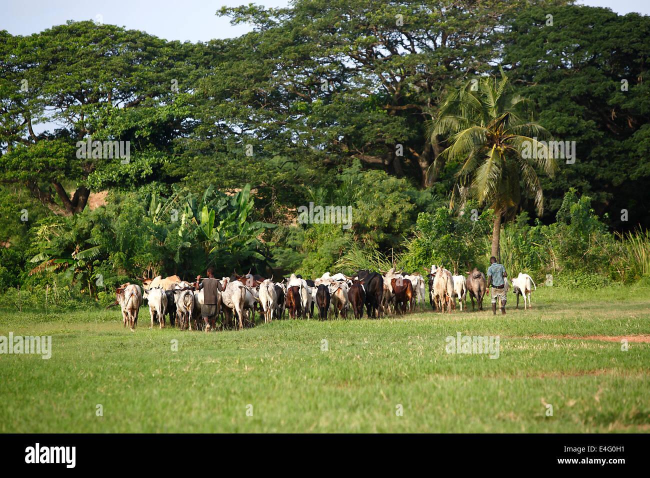 Afrikan ganado entre palmas verdes en el camino a una nueva pradera Foto de stock