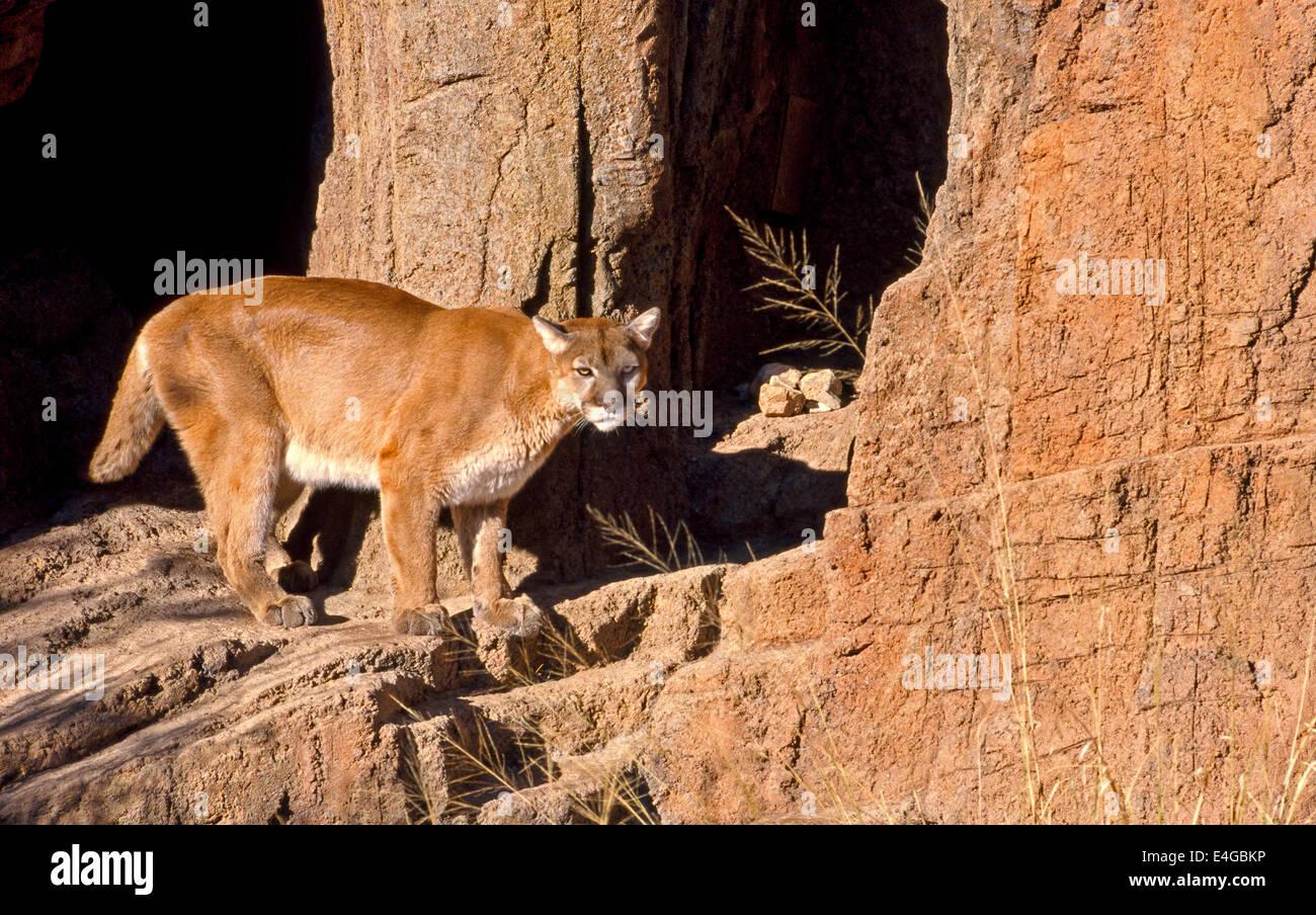 Un Mountain Lion ronda en su re-creado habitat en el Arizona-Sonora Desert Museum, que alberga a 230 y otras especies Foto de stock