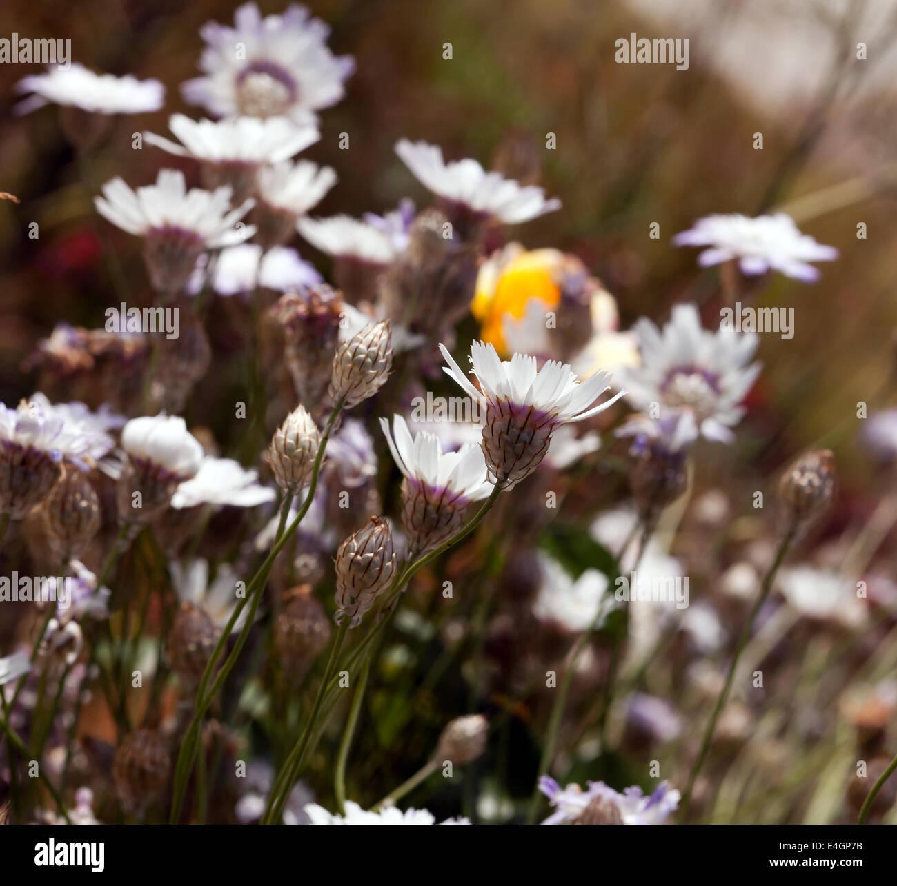 Imagen de de Catananche caerulea 'amor' blanca crecen en el jardín sensorial, Beckenham Park Place, Imagen De Stock