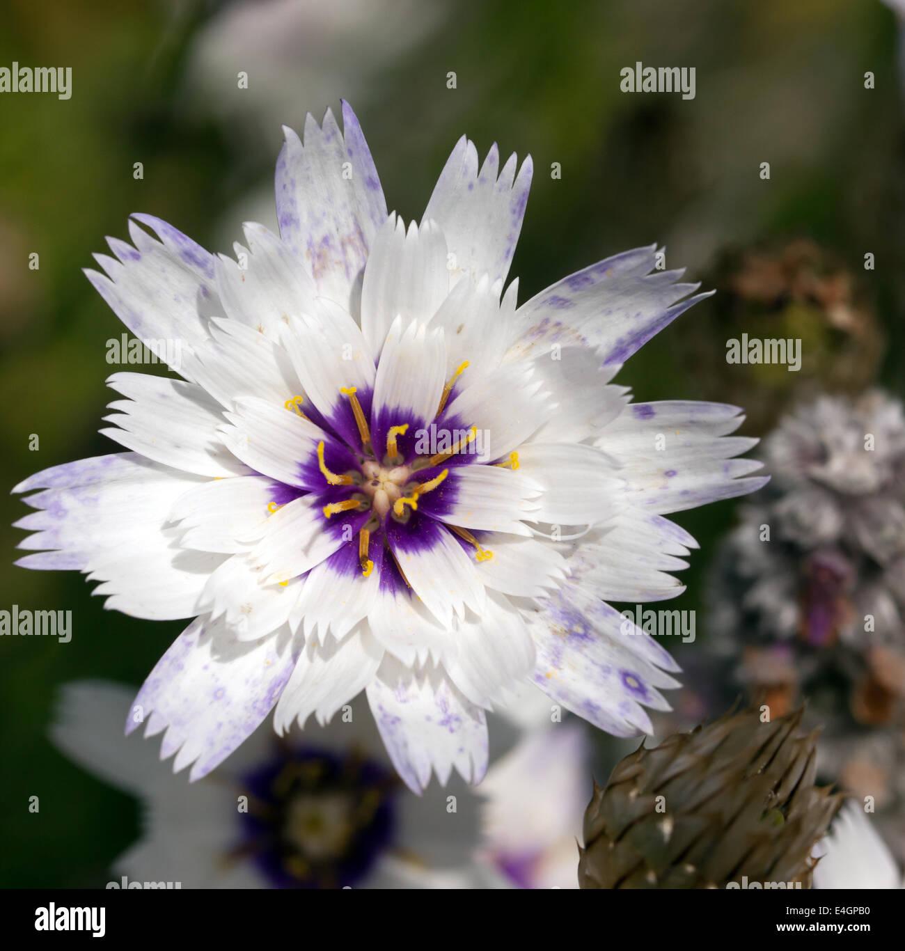 Imagen macro de una sola flor de Catananche caerulea 'amor' blanca Imagen De Stock