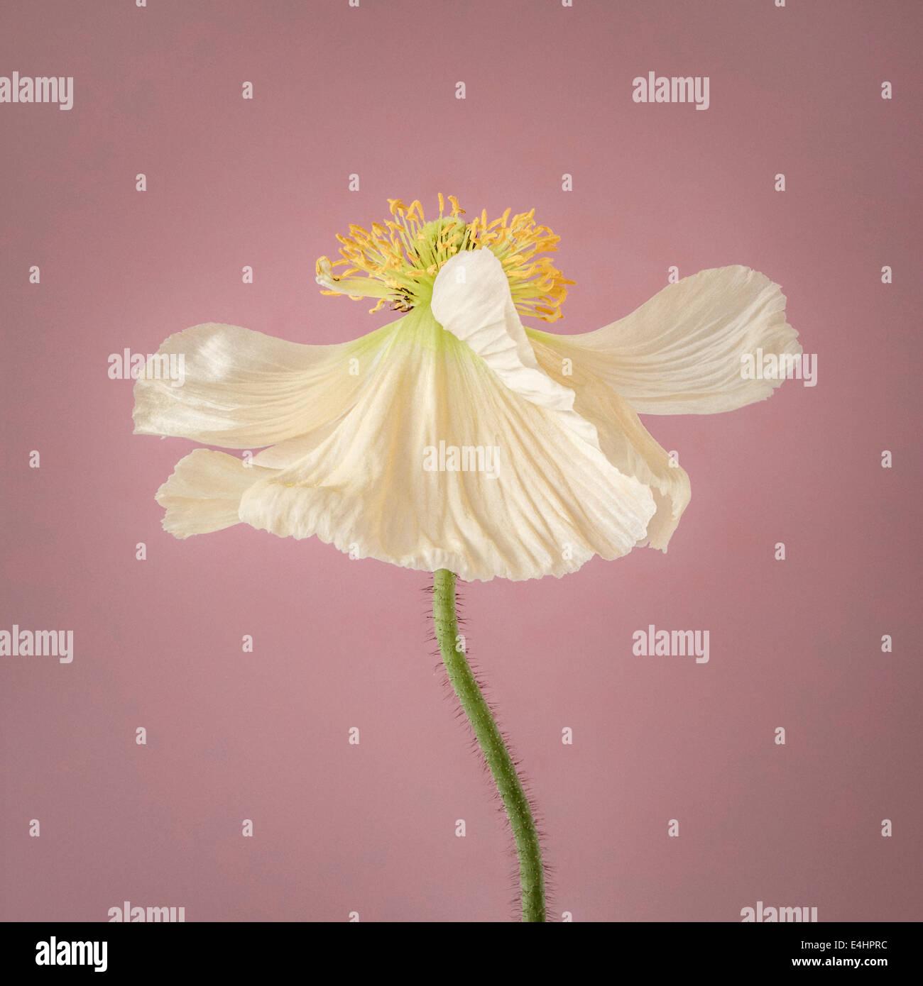 En flor de adormidera blanca sobre fondo de color rosa Imagen De Stock
