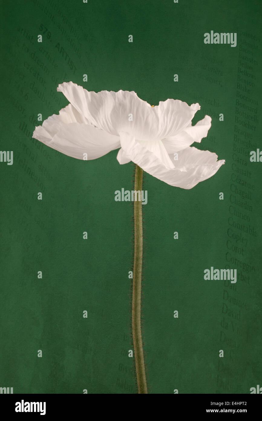 La adormidera blanca sobre fondo verde con secuencias de comandos Imagen De Stock