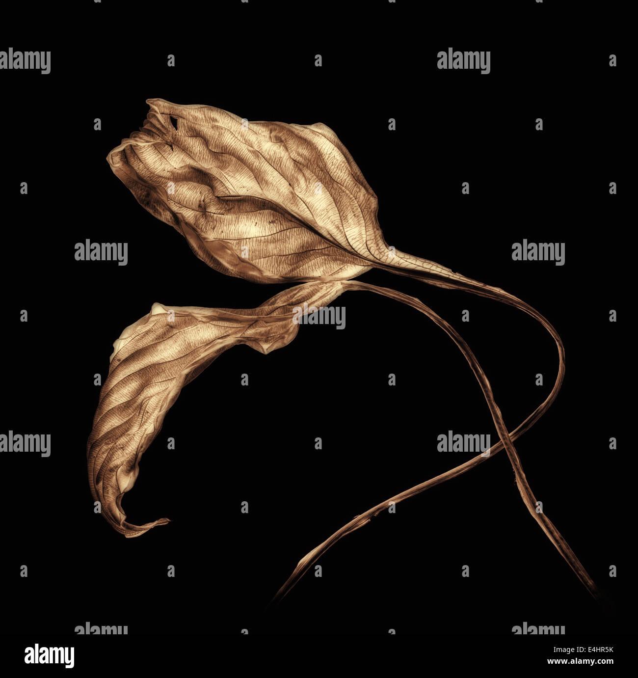 Dos ancianos frágiles hojas de Hosta Imagen De Stock