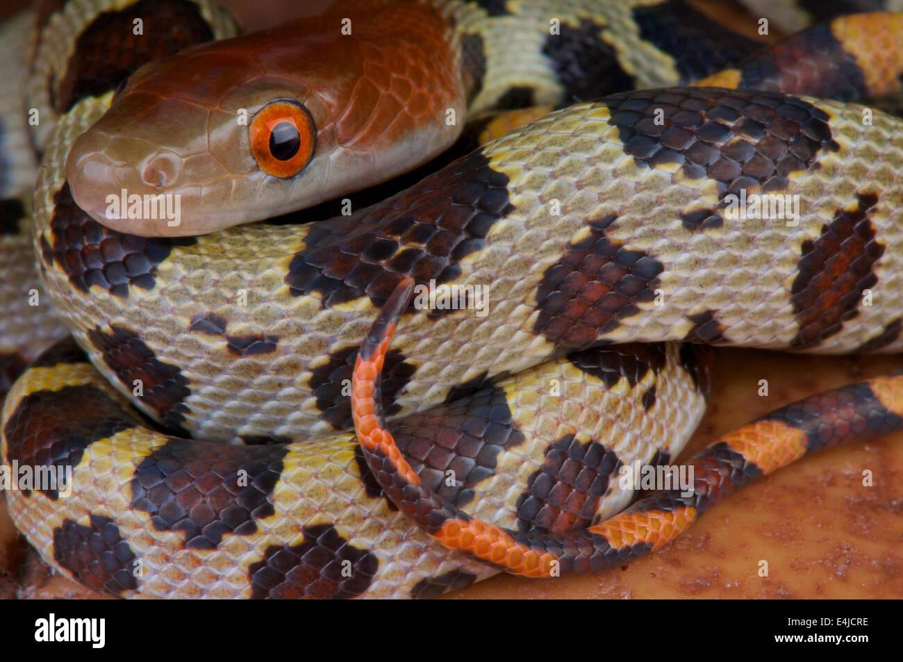 Cien Flores / serpiente Elaphe moellendorffi Imagen De Stock
