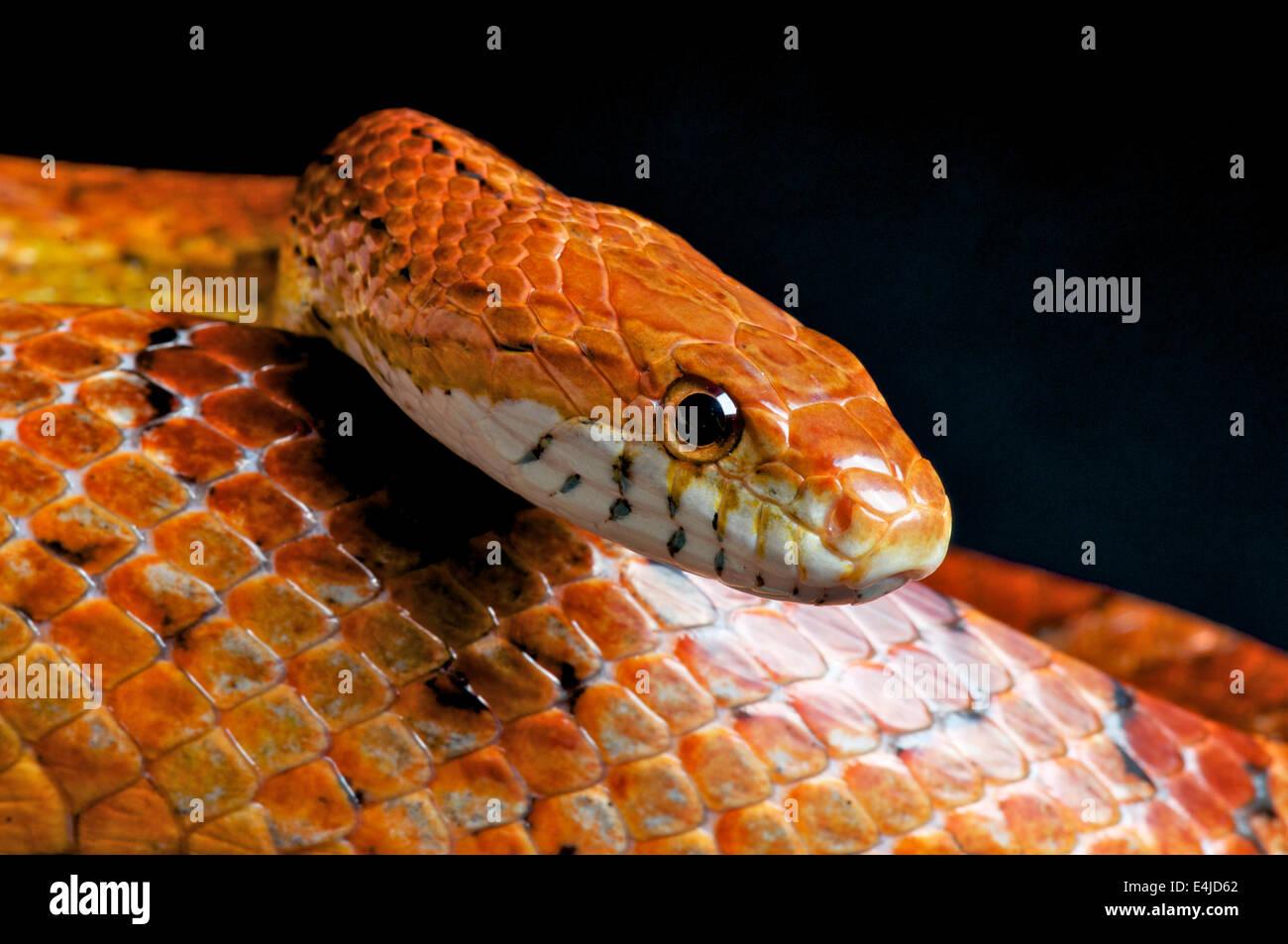 Serpiente de maíz / Pantherophis guttatus Imagen De Stock